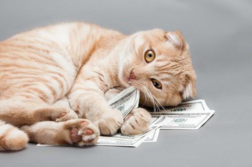 寝転がって紙幣をかじる猫