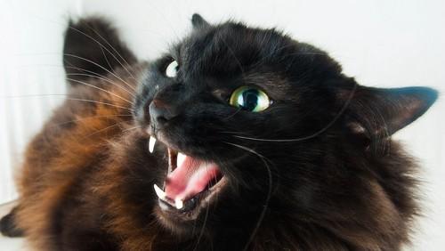 威嚇する黒い猫の顔アップ