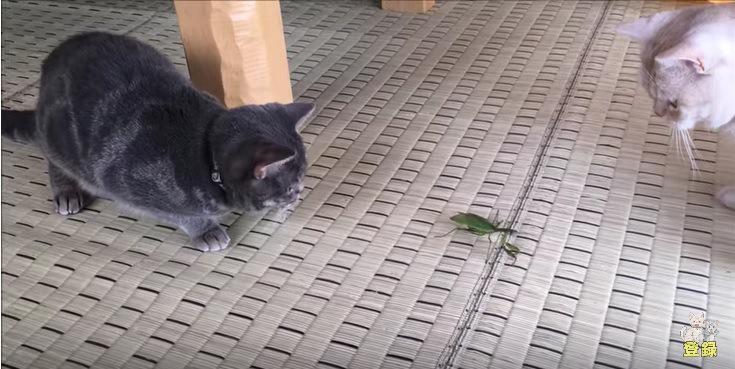 カマキリを見つめる2匹の猫