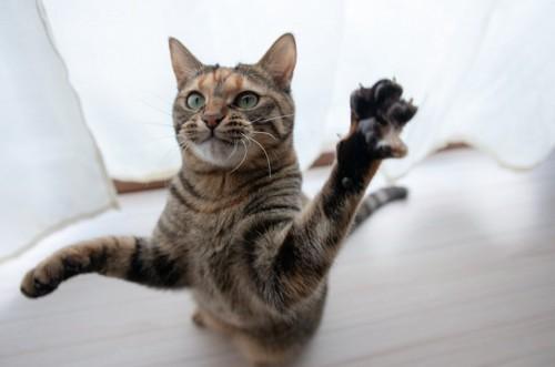 立ち上がって前足を上げる猫