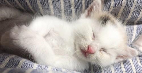 手を重ねて寝ている子猫