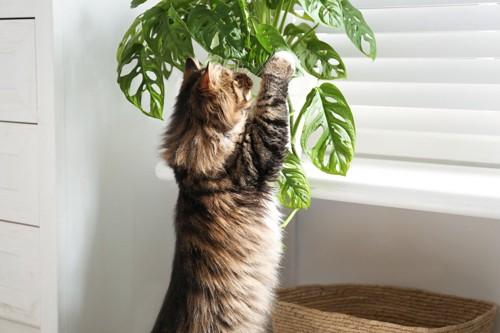 観葉植物にじゃれる猫