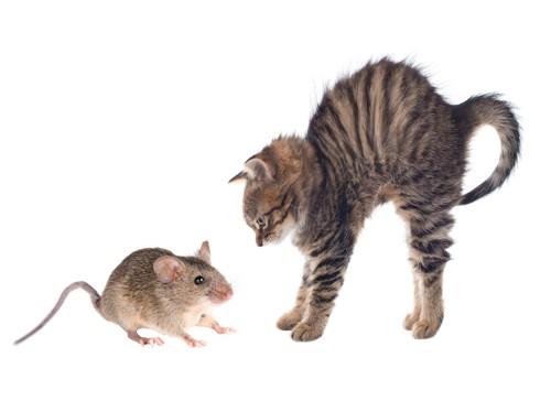 ネズミに対して体を大きく見せて威嚇する猫