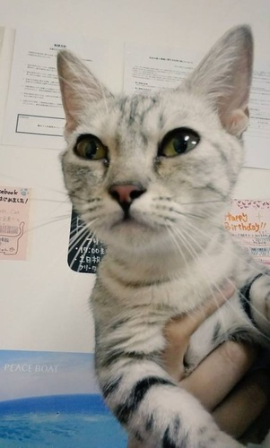 保護猫カフェの猫ラテちゃん