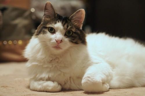 モフモフになった猫