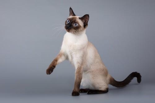 片手を上げて座っているシャム猫