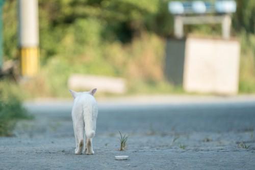 道を歩く白猫の後ろ姿