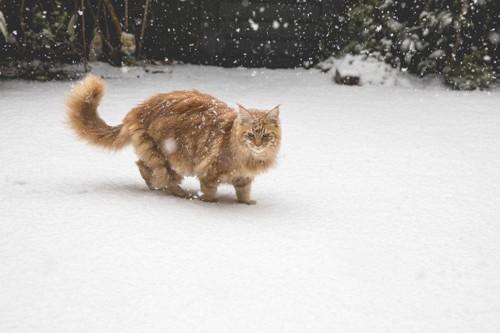 雪の中を歩くメインクーン