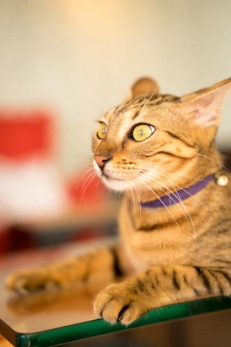 耳を後ろ向きにしている猫