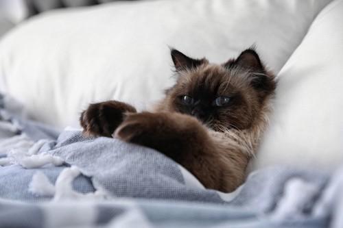 枕に頭をのせて仰向けになる猫