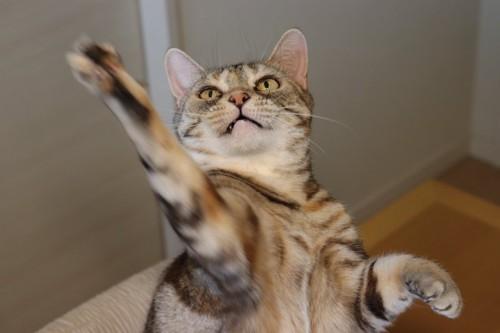 おもちゃを狙って手を伸ばす猫