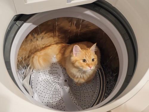 洗濯機に入るマンチカン