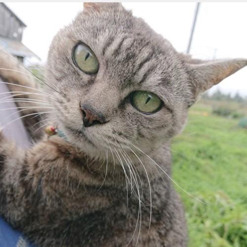 抱っこのサバトラ、コアちゃん