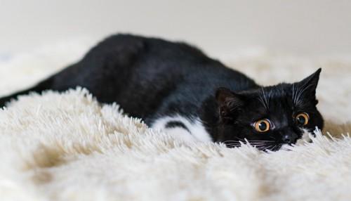 毛に埋もれている猫