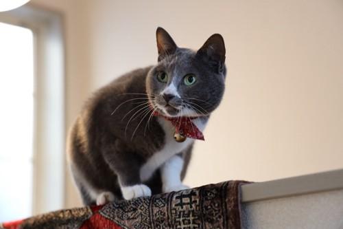 混血種の猫