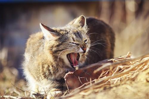 牙を見せている猫