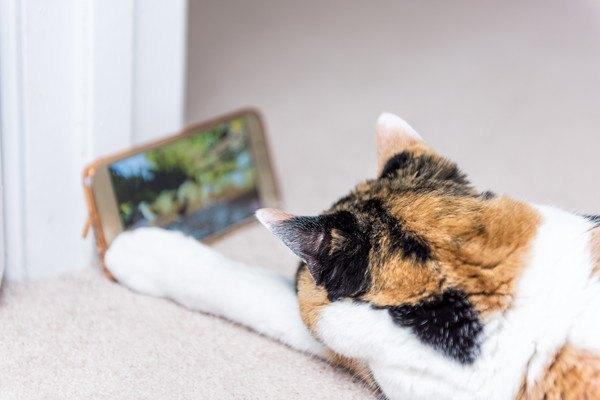 画面を見る猫
