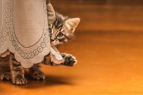 カーテンから顔を出して片手を上げる子猫