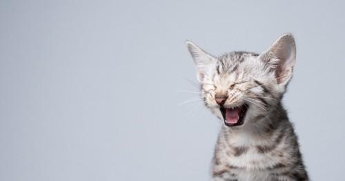 口をあける子猫