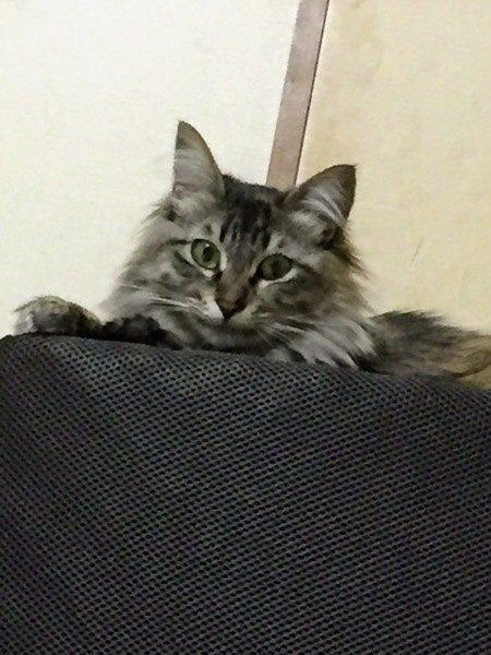 メインクーンみたいな雑種猫