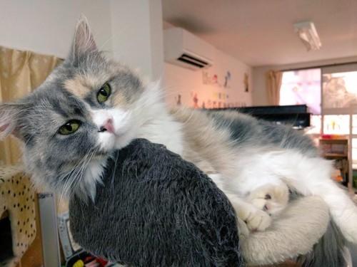 保護猫カフェの猫 MEGUちゃん