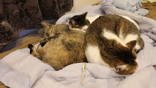 寝ている3匹の猫と手前ににぼし