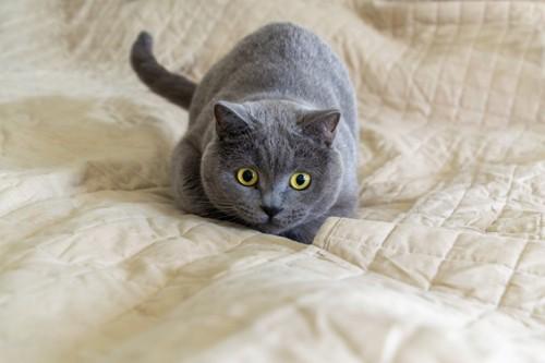 姿勢を低くして目を丸くする黒猫