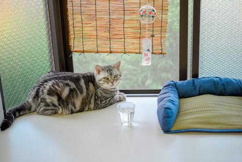 簾のかかった窓辺で涼んでいる猫