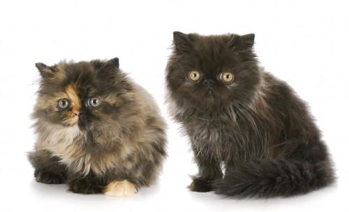 並んで座る二匹のペルシャの子猫