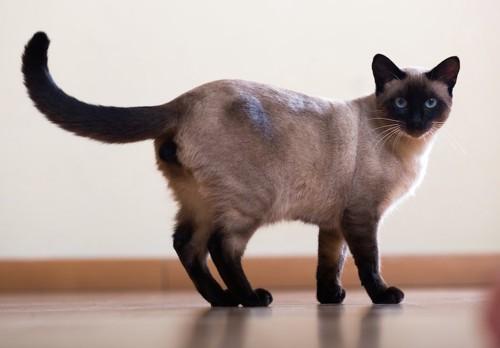こちらを振り返るシャム猫