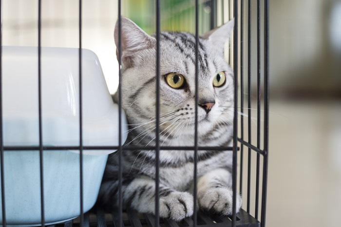 ケージ内のグレーの猫