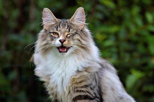 ウィンクをして口を開けている長毛猫