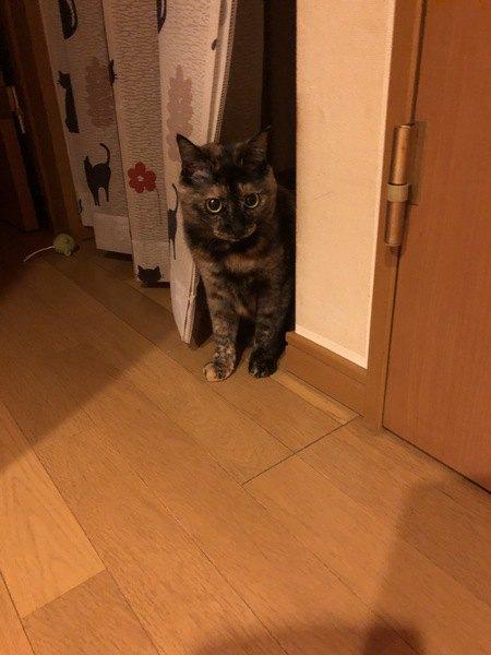 ポンちゃん / ♀/ 2歳/ サビ猫/ 4kg