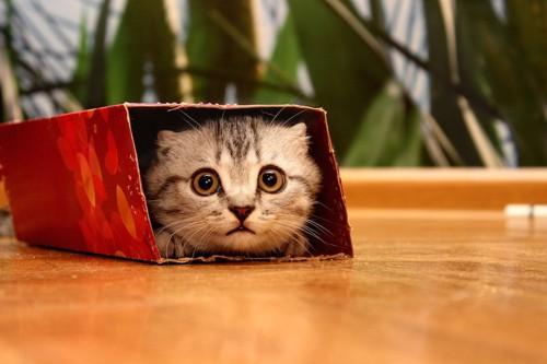箱に隠れているまん丸な瞳の子猫
