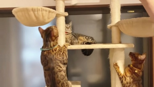 キャットタワーにいる3匹の猫