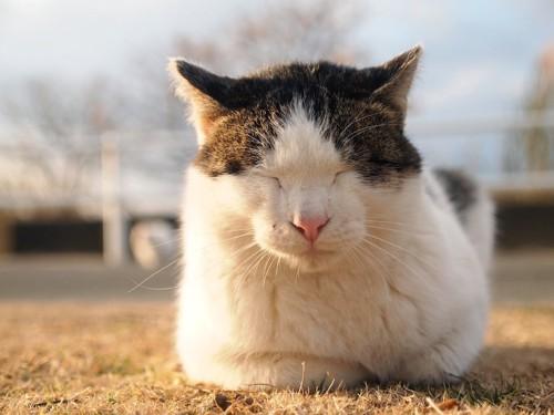 芝生の上で香箱座りをして熟睡している猫