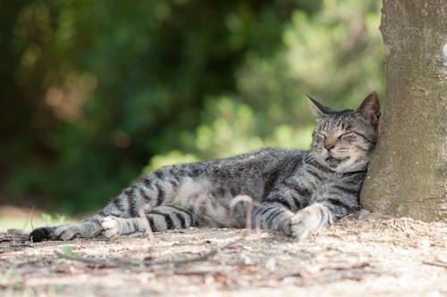 木の横で眠るサバトラ猫