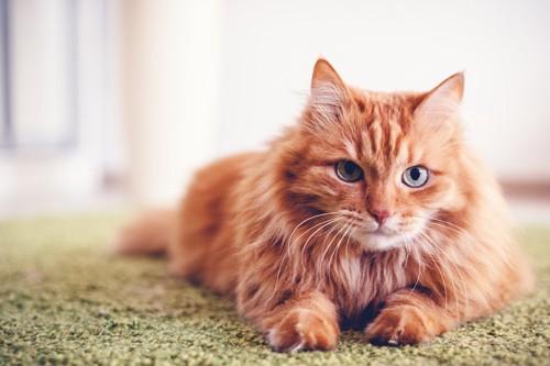 カーペットの上で伏せをしているたてがみのある茶色の猫