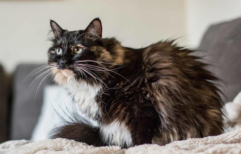 世界一長い毛の猫