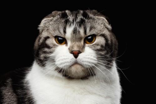 真剣にこちらを見つめる猫の顔アップ