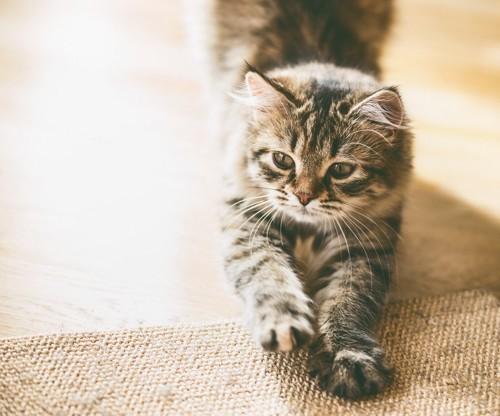 絨毯に爪を研ぐ猫