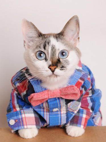 シャツを着た猫