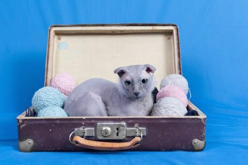 スーツケースの中でくつろぐユークレイニアン・レフコイ