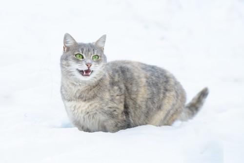 雪の中で鳴く猫