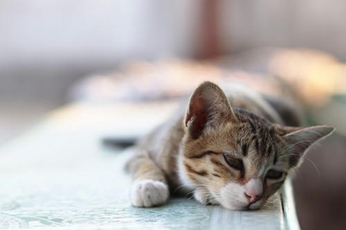 伏せて下を向く猫