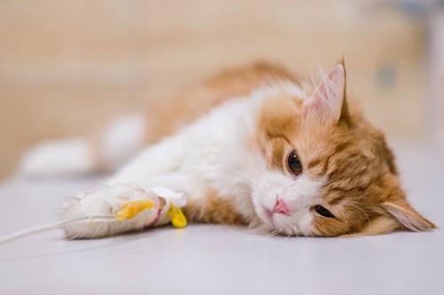 点滴している猫