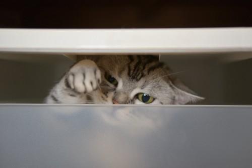 衣装ケースに入って前足をあげる猫