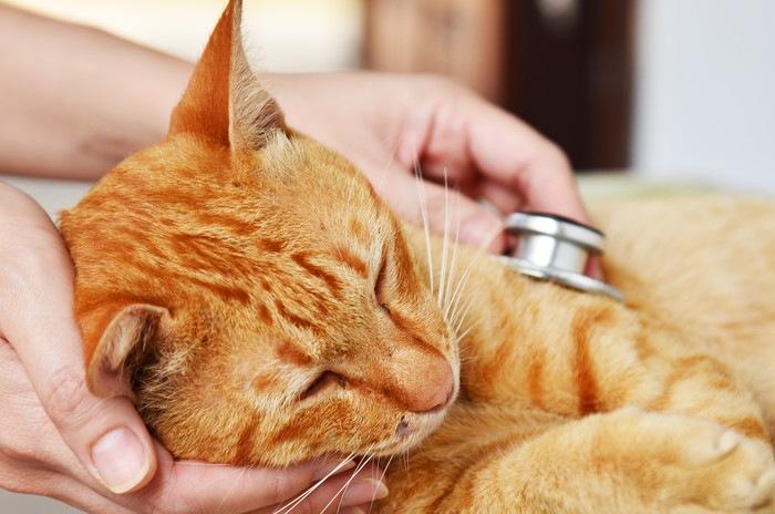 横たわり聴診器を当てられる猫