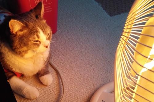 ストーブを見つめる猫