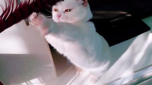 両前足を閉じて後ろ足で立つ猫